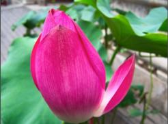 Wu Wei Flower