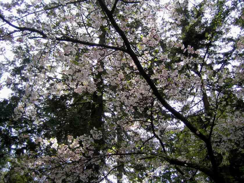 Nitobe Japanese Zen Garden - Cherry Blossoms