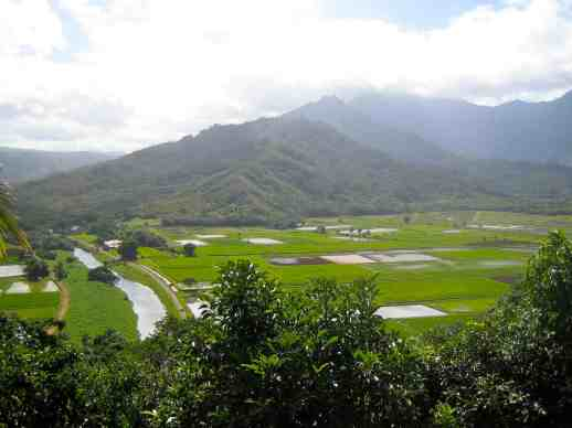 Kauai Taro Cultivation Fields