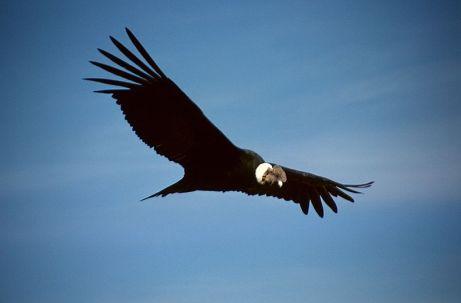 Nna Mmoy California Condor