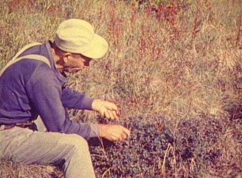 Proenneke Blueberry Picking