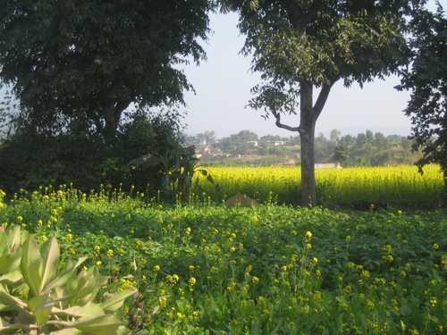 Yellow Flowers Mustard Fields
