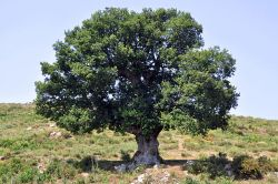 Oak Tree in Corsica
