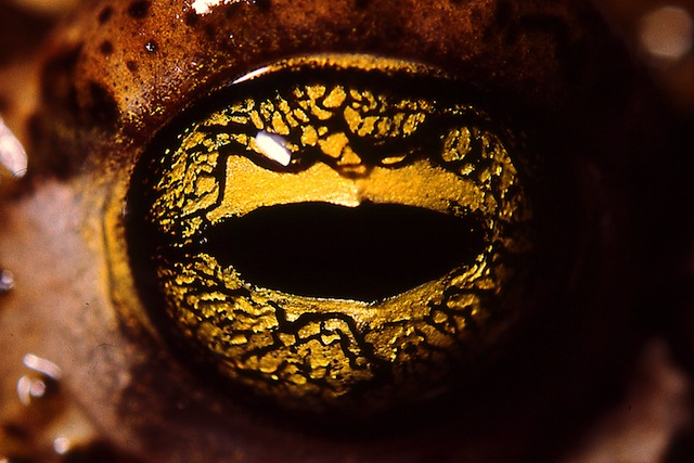 Golden eyed Toad like Chrysoberyl gems