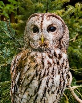 Tawny Owl Lavinia