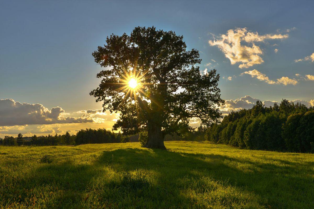 Oak Tree from Wikimedia