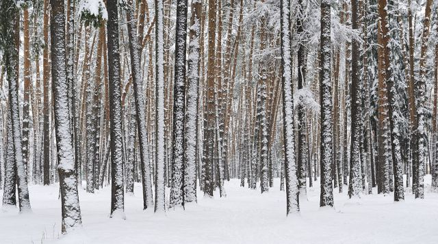 Russian Winter Pine Forest