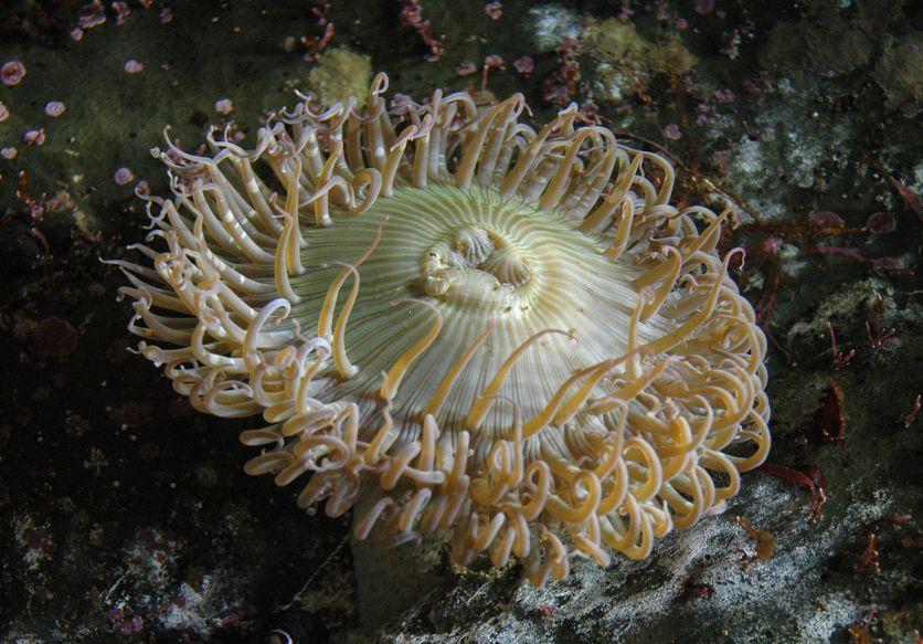 Anemone monterey aquarium