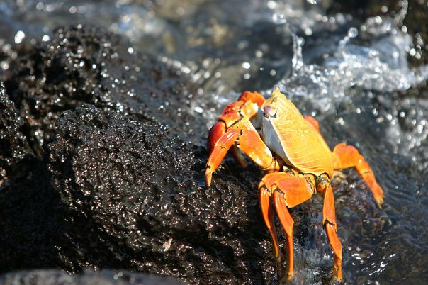 Sally Lightfoot crab grapsus grapsus