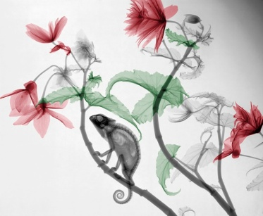 XRay Begonia and Chameleon