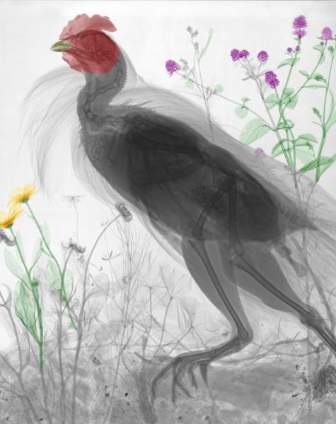 Xray chicken