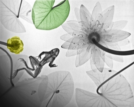 XRay Frog and Waterlily