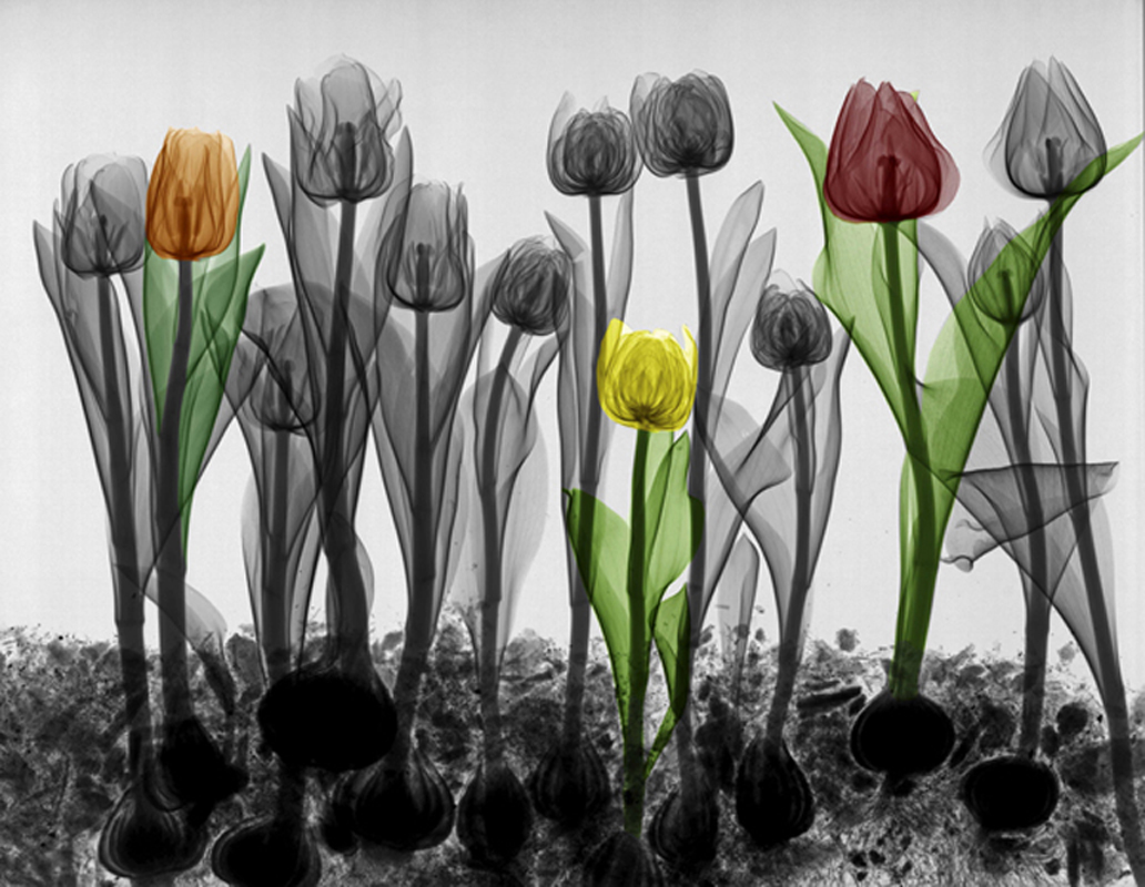 X-ray coloured tulips