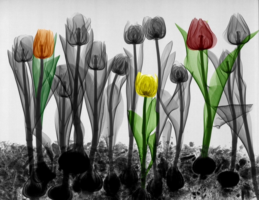 X-ray coloured tulips