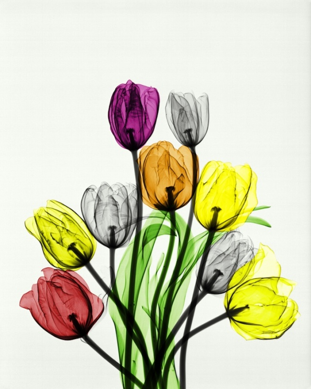 X-ray tulips in vase