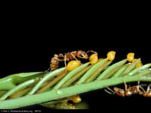 Ants on Bullhorn Acacia