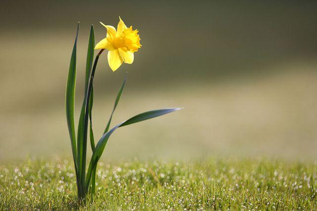 Daffodil - Acacia Seeds