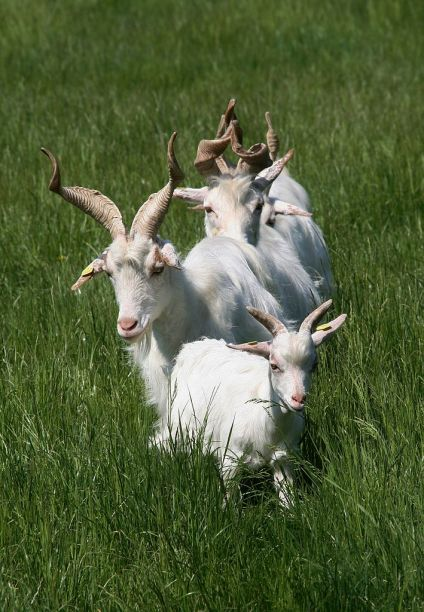 Goats from Goats and Bygone Goats
