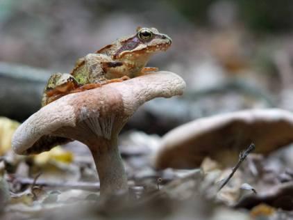 Mishchenko - Frog on Mushroom