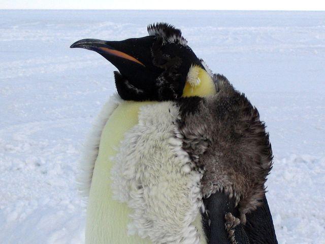 Molting Emperor Penguin - Acacia