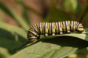 Monarch Caterpillars from You Are Going to Fly