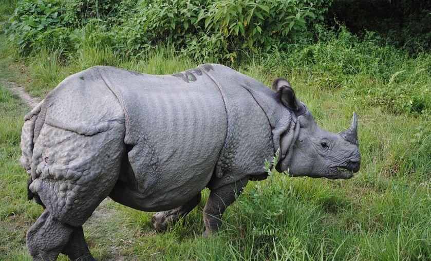 Indian Rhino Bardia National Park