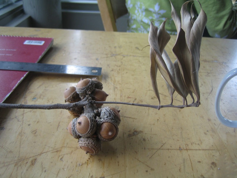 Funky Asian acorns Lithocarpus