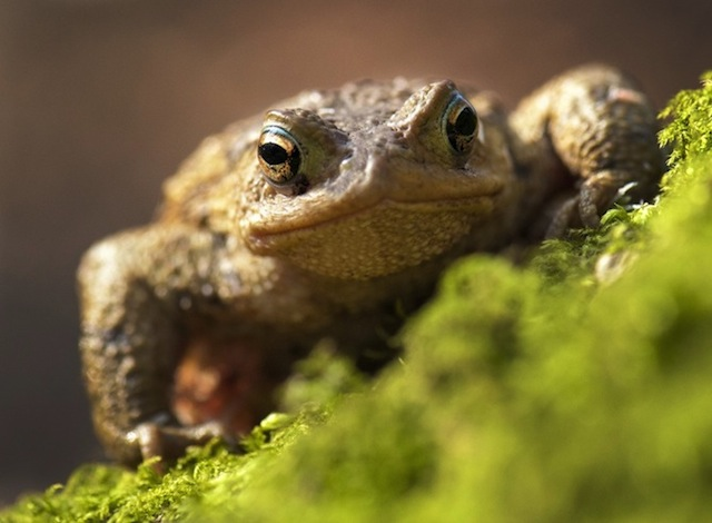 Orwell's Common Toad