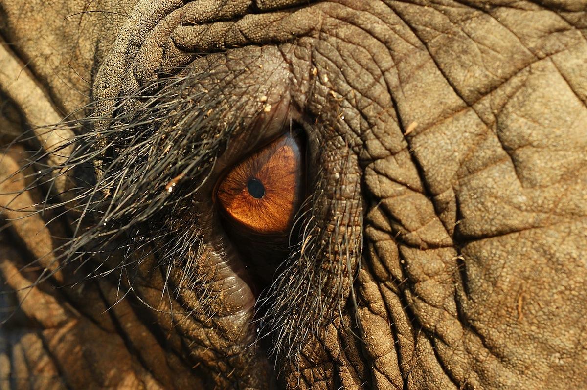 Elephant eye up close