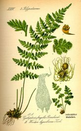 Botanical illustrations ferns