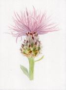 Spotted knapweed (Centaurea stoebe) - Lyn Baldwin