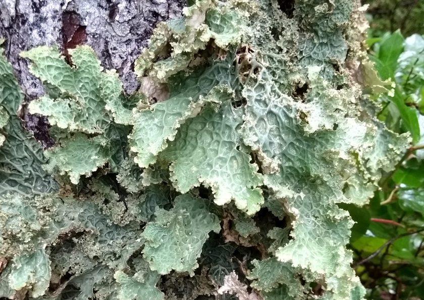 Lungwort Lichen